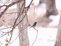 近日,刚刚结束上一轮降雪的吉林气温虽然有所回升,但依旧寒风乍起。说好的春天迟迟未来,吉林大地上的小动物们显得颇为着急。图为长春市南湖公园内焦急的期待春天的红胁蓝尾鸲。(文 张欣彤 图 刘东辉)