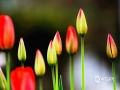 3月26日,贵阳市羊昌花画小镇正值郁金香盛花期,大片郁金香犹如美丽的花毯,十分梦幻,吸引大批游客前来踏青、赏花。(石奎 黄世芹/摄)