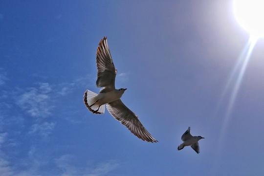 """内蒙古乌海市气温急速回升 乌海湖上红嘴鸥结伴""""畅玩"""""""