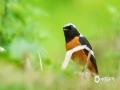 """3月27日,四川资阳伍隍镇阳光明媚,树木长出了新芽,白颊噪鹛、北红尾鸲在树枝上栖息,有的在草坪上追逐嬉戏、用清脆悦耳的鸟鸣向人们传递春天的气息,恰如一幅美妙的""""鸟儿报春图""""。(图/张川  文/张凌超)"""