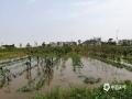 短时强降水导致农田积水受灾。(摄/孙活坤)