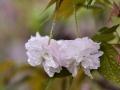 四川细雨绵绵润泽万物 团花含水显娇羞