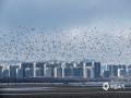 随着天气回暖,河北秦皇岛的春天悄然而至。在北戴河鸽子窝湿地公园,大批海鸥提前飞回这里生活觅食。清晨成千上万的海鸥同时飞起,再现当地万鸟临海、遮天蔽日的景观,吸引了不少游客观赏。(图/李运宗)