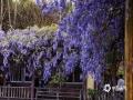 清明小长假,四川乐山一处农家紫藤花开得甚是灿烂,阳光照耀下,散发着浪漫气息,漫步花架下,如置身于梦幻仙境中。(图文:张世妨)