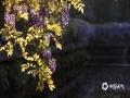 图为盛开的紫藤花。