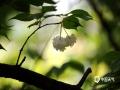 春光漫溢大地间,嫩叶娇花随处绽。近期,随着气温回暖较快,贵阳市白云区周边的红、白樱花?#21512;?#32509;放。4月10日,公路两旁盛开的樱花成为城市中靓丽的风景。(图文:石奎 高文明)