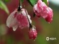 4月9日,天津迎来一场期盼已久的降雨。?在潇潇春雨的滋润下,空气清新,树叶青翠欲滴,春花怒放宜人,别有?#29615;?#24773;趣。(宛公展/摄)