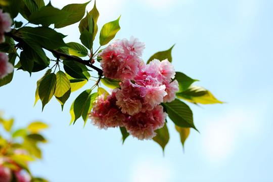 春光漫溢 樱花扮靓贵阳
