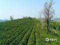 4月10日,九江市柴桑区新?#38505;?#23574;山茶场茶农们正忙着采茶。清明后,茶叶生长速度加快,纷纷抽出了嫩绿的芽头和叶片。茶场放眼望去满眼新绿,青翠欲滴的茶芽挤满了茶树梢头,吐露出茶的芳香。茶农们趁着好天气忙着采摘新茶,茶园里到处一派繁忙景象。(图/魏东升 文/黄兰)