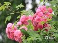 四月柳州,花开婉妍,这里的花红的似火,白的似雪,粉的似霞。在这到处洋溢着花香的?#28572;?#37324;,市民在公园、在街头,纷纷拿起手机,记录这美丽的春色。(图/汤丽莎 文/甘皓月)