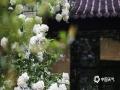 近期南京乍暖还寒,早晚气温偏低。位于南京清凉山公园内的崇正书院院前两株绣球花悄然绽放,一簇簇的花团格外引人注目。(图文:刘霞)
