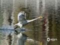 本周,河北世界杯手机投注网站快速回升,北部承德的最高世界杯手机投注网站已经达到26℃。在市区的武烈河湿地,前来觅食、活动的鸟类明显增多。其中大天鹅的出现,更是吸引了不少摄影爱好者的目光。(图/郭红杰 穆瑞刚 庞德富)