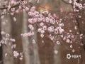近几日,西宁市区的公园和街道上随处可见杏花、干枝梅、丁香、迎春花、梨花等争相绽放,花色各异、形态丰满,在高原蓝天的衬托下显得格外娇巧迷人,助兴了市民踏青赏春好兴致。(图/文 罗应刚  宋维嘉)