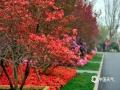 """4月20日,中国第十六届杜鹃花博览会在山东日照召开,本次展览以""""面朝大海、杜鹃花开""""为主题,是首次在我国北方地区举办的全国性杜鹃花展览,也是离海最近的一次大型杜鹃花展。白的、红的、粉的、黄的、紫的杜娟花,可以用""""浓装淡抹总相宜""""来形容,五彩缤纷的杜娟花艳丽如霞,引来游客参观拍照。图为4月21日第十六届中国杜鹃花展览。(图/文 崔广暑 王连珍)"""