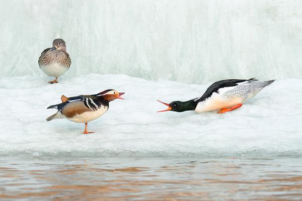 吉林抚松河流解冻 中华秋沙鸭冰水中觅食
