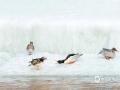 4月22日吉林抚松温度-3℃~14℃,气温逐渐回升,众多江河开化,中华秋沙鸭也回到了它们的栖息地,中华秋沙鸭以鱼和蛤蟆为主食,是捕鱼高手。(图文:郭晓燕)