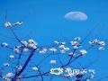 近日来,西宁天气极好,空气洁净通透,又接近月圆时节,每日下午17时左右,月亮就早早的挂上了鲜花枝头,花月共色,特别美丽,意景深远。(图/文 罗应刚  宋维嘉)