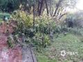22-24日,江西遭遇连续强对流性降雨过程,强雷电、 短时强降水、雷雨大风等强对流天气频频出现,多地出现城市内涝、道路积水、山体滑坡、道路坍塌、房屋倒塌、树木折断等灾情,给人民生活造成很多困难。 图为4月23日下午信丰县出现强对流天气,信丰县花园湾内的树木被折断。摄影/曹蓉