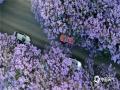 """今年4月以来,昆明气温持续偏高,4月中旬,昆明的""""网红""""花——蓝花楹提前迎来了自己的盛花期。24日,昆明教场中路俨然是一条""""梦幻花街"""",马路两边一树树高大的蓝花楹,开得就像一片美丽的紫雾,分外浪漫迷人。(文/张文卿、朱颖 图/徐祥洪)"""