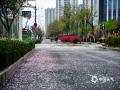 今天,日照喜迎春雨,花瓣撒落一地。(图/文 崔广暑 王连珍)