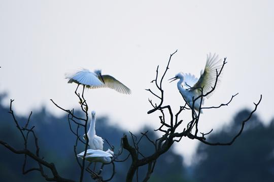 春末夏初 白鹭成都天空展翅翱翔