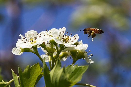 河北气温节节高 鲜花盛开蜜蜂采蜜忙