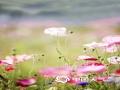 中国天气网讯 近日,华中农业大学校园内多彩的虞美人灿烂开放,细细花茎支撑着?#26222;?#19968;般的花朵,?#32933;?#21487;爱。微风轻拂,花朵摇曳,如同一个五彩斑斓的梦境。(摄/曾又枝)