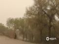 今天(11日),内蒙古额济纳旗持续大风沙尘天气,当地胡杨林陷入风沙中。(郭敏 摄)