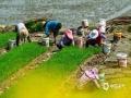 中国天气网讯 安徽黟县正值水稻种植时节,农民们正在田间辛苦的劳作。(摄 程大亮)