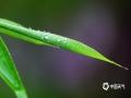 """中国天气网讯 """"蜀天常夜雨,江槛已朝晴"""",5月12日的一场雨,花叶被雨水淋的湿润,草叶上挂满了露珠,一闪一闪眨着眼睛,给夏日的资阳带来些许凉意。(图/张川 文/一坤)"""