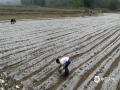 中国钱柜娱乐777天气网讯 17日下午17时30分至18时20分,河北唐山遵化市出现强对流天气,城区及多个乡镇出现冰雹,个头偏大的冰雹直径超过了5厘米,比鸡蛋还要大。冰雹的出现,砸损了众多汽车,不少车辆玻璃被完全损坏。在遵化洪山口等地,冰雹致使板栗、红薯等农作物受灾,具体受灾情况,当地政府还在进一步之中。(摄影/刘满仓等)
