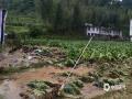中国天气网讯 今天(19日),福建三明(建宁、泰宁、将乐、宁化、清流、明溪、沙县)等地持续暴雨,局部大暴雨。本次过程是今年以来最强持续性暴雨过程,具有过程雨量大、范围广、极端性和局地性强等特点。图为强降雨导致烟叶受损。(图/将乐县气象局 文/万灵)