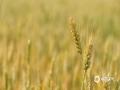 """""""小满""""这个节气名,古书上多有解释,但意思都一样。通俗地讲,就是这个节气里,冬小麦等夏熟作物子粒看起来好像饱满了,其实还未成熟,还没到最饱满的时候,所以给这时的节气起了个恰切的名字:""""小满""""。图为山东省菏泽市的麦田。(图/文 王英 王连珍)"""