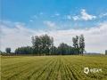 """""""小满不满,麦有一险"""",这一险,就是""""干热风""""的侵害。小满时节,正处在将熟之际的冬小麦,对高温干旱的反应十分敏感。(图/文 王英 王连珍)"""