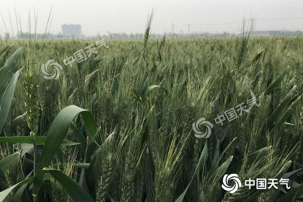 河北中南部22-24日有干热风 小麦管理需加强