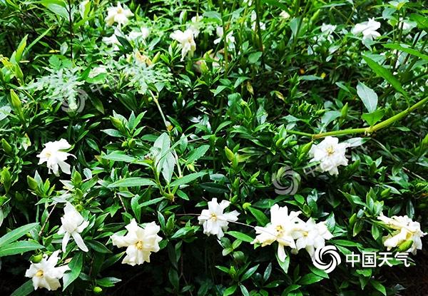 重庆5月日照时数创近22年最低值 致栀子花偏晚开花