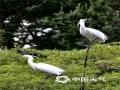 """中国天气网讯 每年天气转暖,湖北省英山县温泉镇沙湾村都会迎来一群""""贵客""""--白鹭,初夏的阳光温暖,它们与其它候鸟一起,或在草地上觅食嬉戏,或展开翅膀翩翩起舞,姿态优美,温雅动人。(摄/肖潇)"""