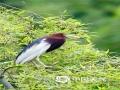"""中国天气网讯 每年天气转暖,湖北省英山县温泉镇沙湾村都会迎来一群""""贵客""""--白鹤,初夏的阳光温暖,他们或在草地上觅食嬉戏,或展开翅膀翩翩起舞,姿态优美,温雅动人。长久以来,候鸟史诗般的迁徙都是一个谜。南来北往的宿命,山川湖泊间的周旋,留下了它们美丽的痕迹。(摄/肖潇)"""