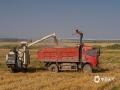 随着气温逐渐炎热,夏粮小麦由南向北梯次成熟,在湖北省黄冈市团风县罗瀖州村,2万多亩小麦已经成熟了,金黄的麦穗颗粒饱满、随风舞动。由于24日晚至26日黄冈地区将出现强降水天气,几十台联合收割机轰鸣着来回穿梭作业,趁天气晴好,抢收小麦。(图/王定初)