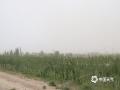 昨天(26日),甘肃酒泉市瓜州县遭遇大风沙尘天气,距离城区20公里处的南岔区域站,阵风一度达到12级,极为罕见。大风天气对当地农业、交通运输业等造成了严重的不利影响,处于苗期的棉花部分被大风吹倒伏、花苗脱落;在南岔镇,碗口粗的树枝被拦腰吹断;G30高速公路瓜州至敦煌段封闭长达12个小时(26日09时-21时)。目前,瓜州天气已经好转。 (文/图 田文豪)
