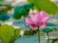 中国天气网讯 山东济南大明湖的荷花,自古闻名。当年,它曾是明府城的一张闪光名片。而今,它仍是大明湖的亮丽一景。夏日,正值大明湖荷花盛开期,美不胜收。(图/文 李峰 王连珍)