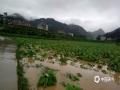 图为22日务川县茅天镇烤烟被淹。(图文:邹习松 陈娟)