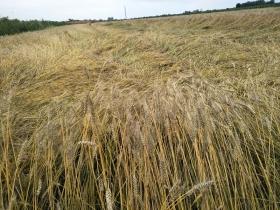 甘肅慶陽風雨交加  農作物倒伏損失慘重
