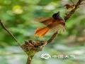 中国天气网讯 寿带鸟又名绶带鸟,因其雄性长着两条中央尾羽像绶带一样而得名。今年6月,成双成对的寿带鸟在重庆市南川区花山公园内筑巢育儿繁衍后代,不停地在林间飞舞捕食育儿。(图/瞿明斌)