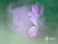 """中国天气网讯 7月5日,乐山城区荷花竞相开放。""""看取莲花净,应知不染心"""",诗人孟浩然在诗中表达了莲花的清浄纯白,出污泥而不染。拍摄者为了拍出如此意境的荷花,采用二次曝光技术,勾勒出如梦似幻的荷花之美。(图文/ 张世妨)"""