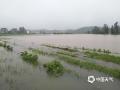 中国天气网讯 6日以来,强降雨连番袭扰江西,昨天(8日)宜春、新余、吉安、抚州、鹰潭和上饶市出现大暴雨,萍乡甚至遭遇了特大暴雨。连续降雨导致多地内涝严重、河水上涨,市民出行困难。图为宜春袁州区西村镇水稻被淹,现场汪洋一片。(图:章起明)