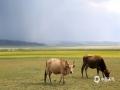 中国天气网讯 新疆塔城的沙孜湖,天空湛蓝,金花遍地,牛羊如云,毡房点点,构成一幅充满诗情画意的古丝路画卷。(图/李琦 文/一坤)