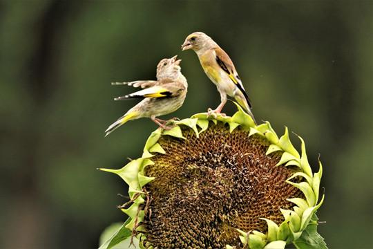 成长纪实:葵花园内金翅雀喂雏鸟