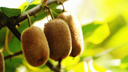 贵州修文猕猴桃长势喜人 村民丰收在望