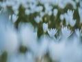 颜值超高的风雨兰 雨后集体爆花